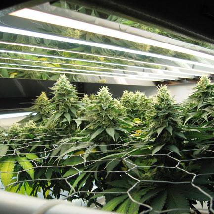 Door je wietplant te scroggen groeit deze wijder i.p.v. hoger.