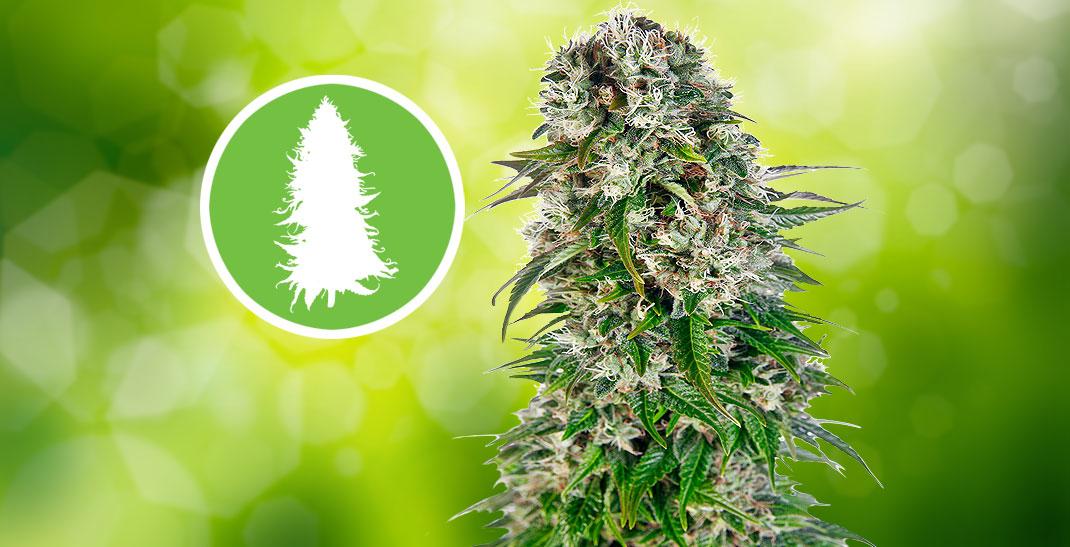 Big Bud Cannabis Strain informatie.