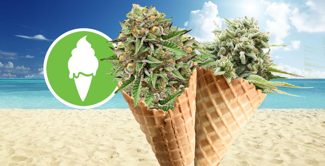 Green Gelato wiet kenmerken en kweek informatie.