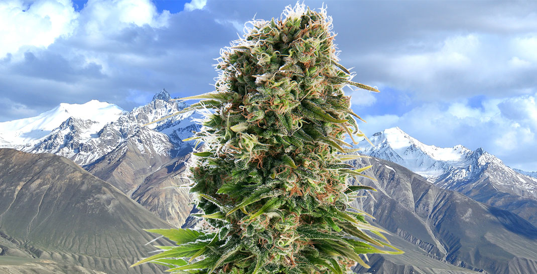 Hindu Kush wiet - Cannabis vernoemd naar het Hindu Kush-gebergte