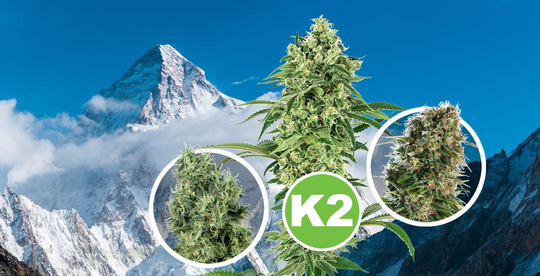K2 Wiet - Alles over de k2 strain