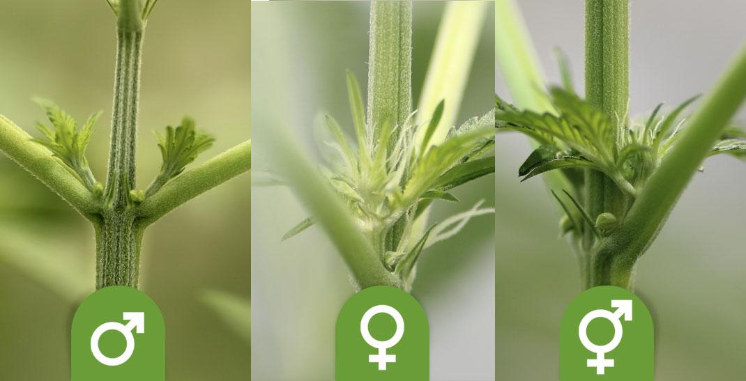 Mannelijke wietplant – Hoe herken je een mannetjes wietplant