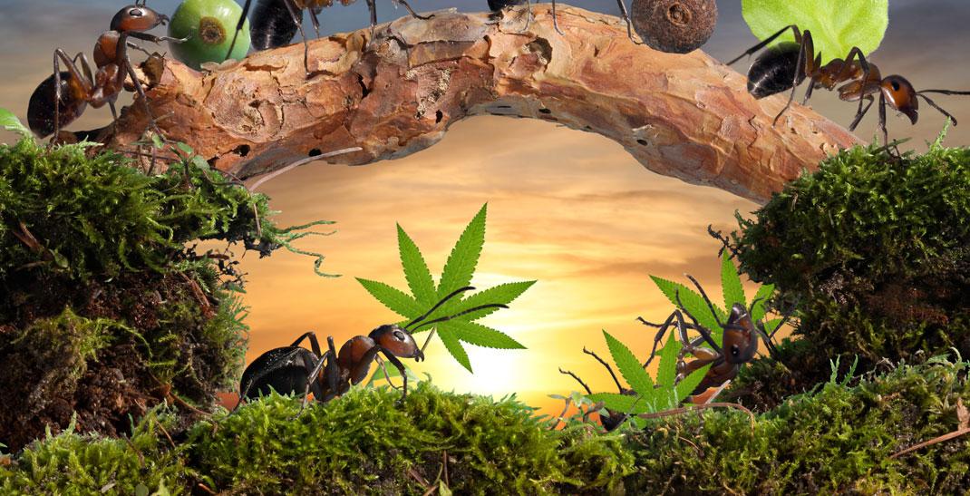 Mieren op cannabis voorkomen en bestrijden