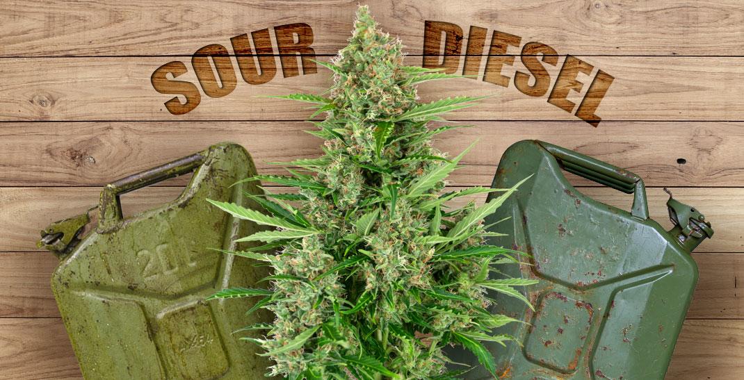 Sour Diesel aka Sour D is een sativa-dominant wietsoort