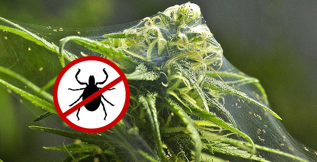 Spint bestrijden bij wietplanten