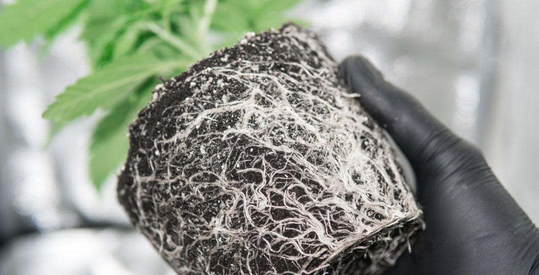 Un esempio di una pianta di cannabis con un forte apparato radicale.