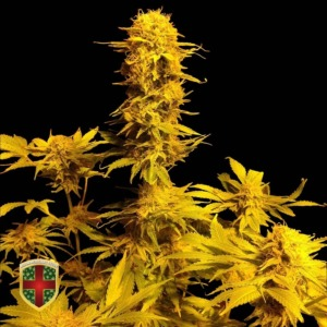 Bubble Boom - All-in Medicinal Seeds