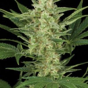 Birrie Jack Auto - Amaranta Seeds