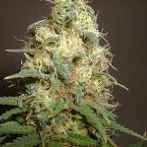 Easy Bud - Amaranta Seeds