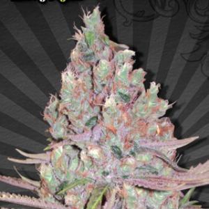 Berry Ryder Autoflower - Auto Seeds