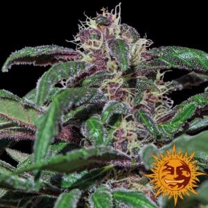 Ayahuasca Purple - Barney's Farm