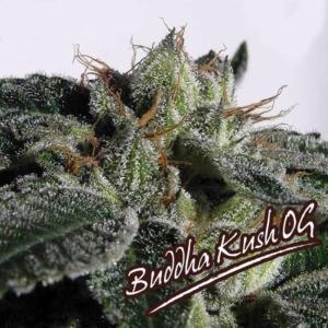 Buddha Kush OG - Big Buddha Seeds