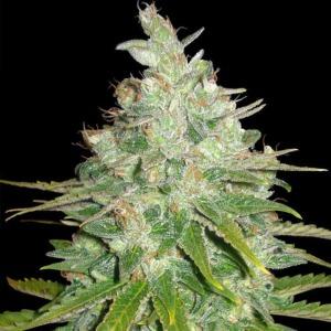 Black Domina Auto - Sagarmatha Seeds