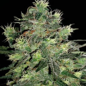 AK Automatic - Blimburn Seeds