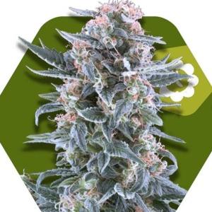 Blueberry Auto - Zambeza Seeds
