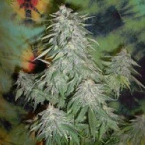Super Kush - British Columbia Seeds