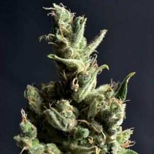 Amnesia - CBD Seeds