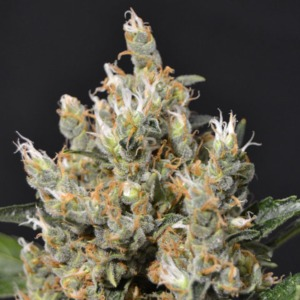 Kali - CBD Seeds
