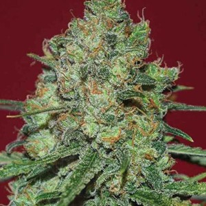 Clinical White CBD - Expert Seeds