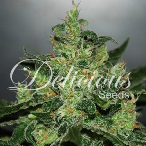 Critical x Jack Herer Auto - Delicious Seeds
