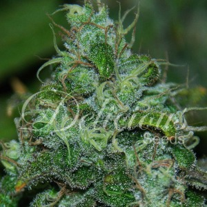 Fruity Chronic Juice - Delicious Seeds