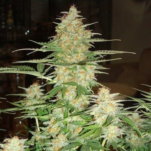 60 Day Wonder Autoflower - DNA Genetics