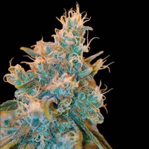 Chocolope Kush - DNA Genetics