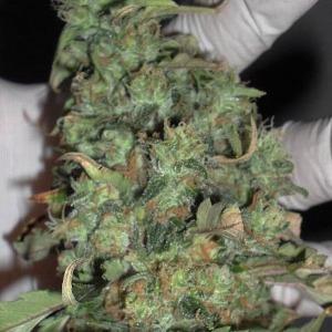 Buzz Light Gear - Dr Krippling Seeds