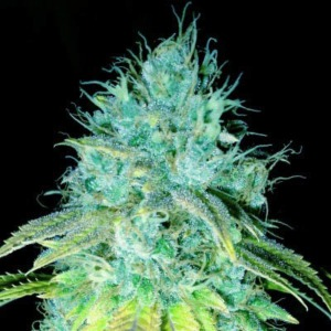 Sour Puss - Emerald Triangle