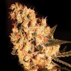 Jamaican Dream - Eva Females Seeds