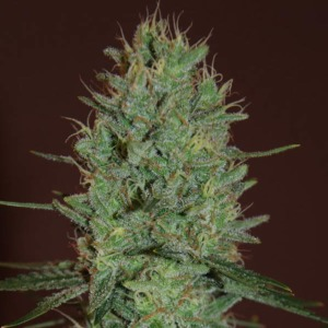 Amnesia Haze - Expert Seeds
