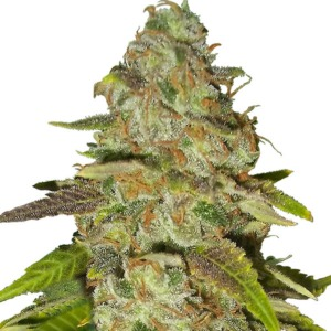 Fast Eddy - Royal Queen Seeds