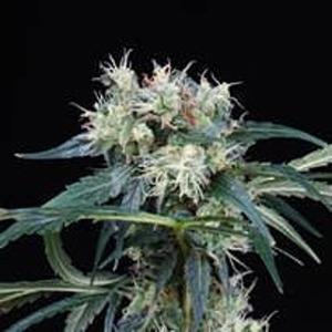 Northern Lights 5 Haze Seeds - Finest Medicinal