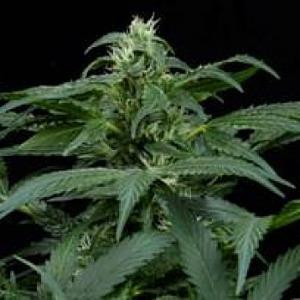 Skunk NL Seeds - Finest Medicinal