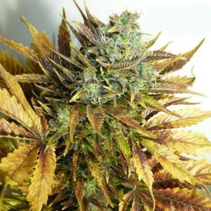 Purple Sirius Kush  - Flash Seeds