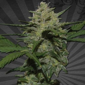 Girl Scout Cookies - Auto Seeds