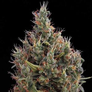 Big Bang Autoflower - Green House Seeds