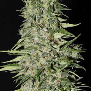 Diamond Girl - Green House Seeds