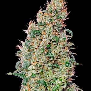 Green O Matic Autoflower - Green House Seeds