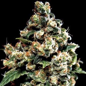 Jack Herer - Green House Seeds