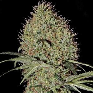 Super Bud Autoflowering - Green House Seeds