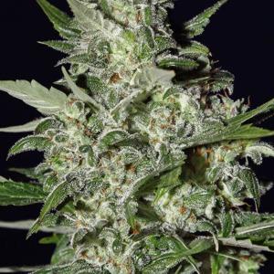 Super Critical Autoflower - Green House Seeds