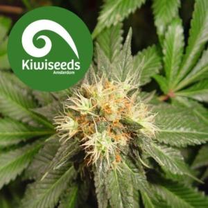 Hindu Kush - Kiwi Seeds