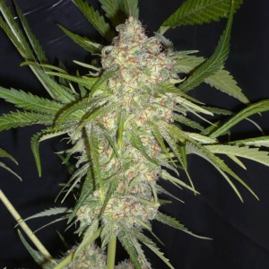 Super Skunk - Huismerk