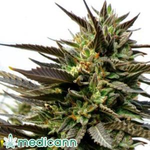 Blue Blood - Medicann Seeds