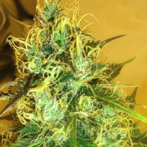 Blue Mountain Durban - Medicann Seeds