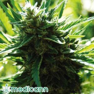 Cali Jack - Medicann Seeds