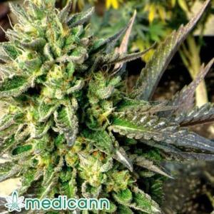 Chem Dawg - Medicann Seeds