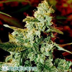 Kush Fromage Auto - Medicann Seeds