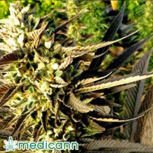 Trainwreck - Medicann Seeds